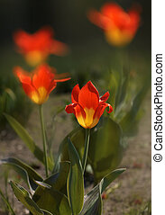Yellow - Red tulips