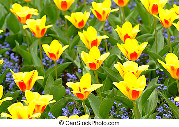 tulips - yellow red tulips