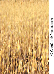 Yellow reed on a sunny day