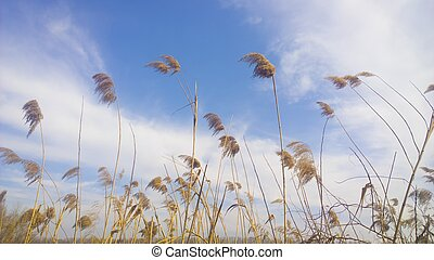 reed over blue sky