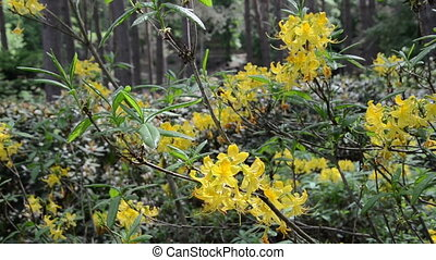 yellow rhododendron bloom - close of yellow rhododendron...
