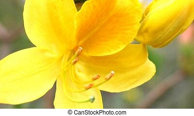 Yellow rhododendron blossom close-up, detail of pistil and...