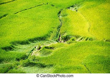 Yellow rice field