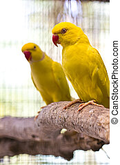 yellow ring necked parrot