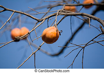 yellow Ripe Persimmon on tree branch
