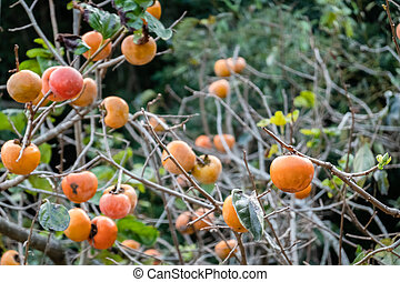 persimmons on the tree