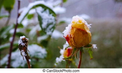 Yellow rose and snowfall. - Snowfall in the winter garden...