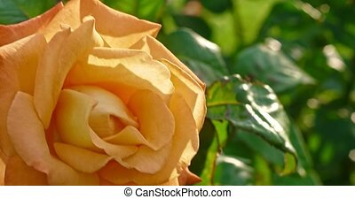 Yellow rose blooming blossoming bush in botanical garden in 4k DCI close up shot. Tender blooming flower yellowish rose in garden