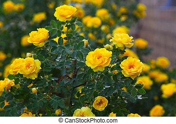 yellow rose briar bush flowers nature wallpaper - yellow...