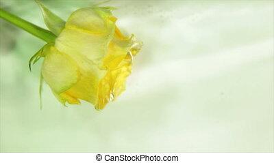 Yellow rose bud in running water - Yellow rosebud in running...