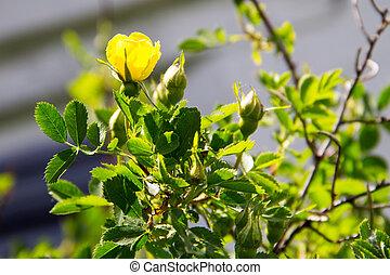 Yellow rose bud on a bush in garden