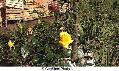 Yellow Rose Flower 001