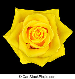 Yellow Rose Flower Isolated on Black