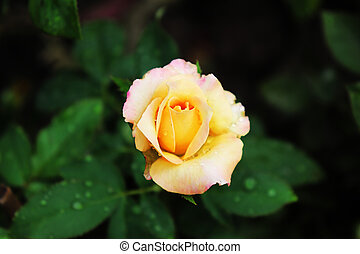 Yellow rose flowers on the tree with green leaves background