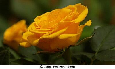 rose - Yellow rose
