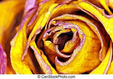 yellow Rose - gelbe Rose - detail of yellow Rose - detail...