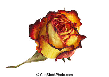 yellow Rose - gelbe Rose - yellow Rose on white Background -...