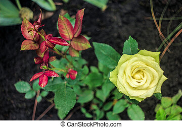 yellow rose growing in green and burgundy leaves