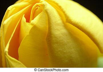 yellow rose II
