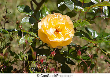 Yellow rose in a garden