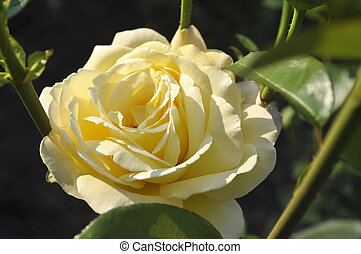 Yellow rose in the garden.