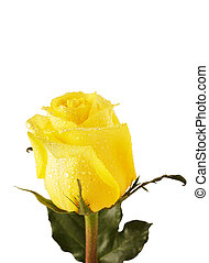 yellow rose isolated over white background