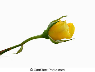 Yellow rose - Isolated yellow rose