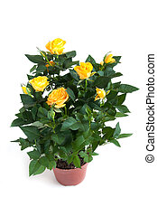 Yellow rose on a light background