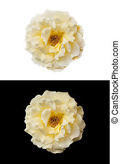 Yellow rose on a white and black background