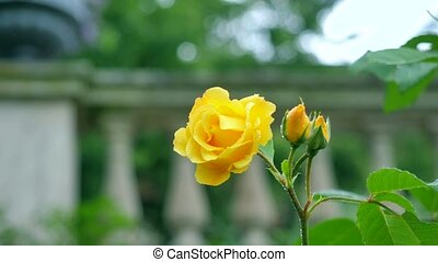 Yellow rose on the background of columns.