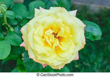 yellow rose on the bush