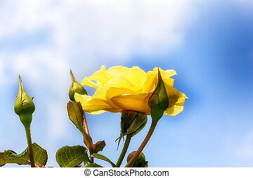Yellow Rose with Blue Sky