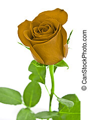 Yellow rose with green leaves. Isolated on white background.