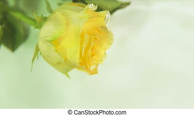 Yellow rosebud in running water.full hd video - Yellow rose...