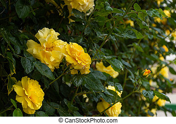 Yellow roses on a Bush in selective focus. Beautiful delicate trailing garden roses on a blurred background.