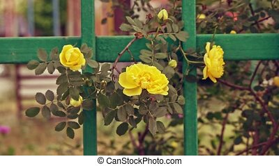 Yellow roses waving with the wind - Yellow roses on garden...