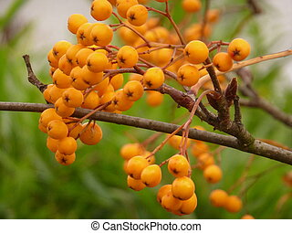 Yellow Rowan Berries - Yellow berries on a rowan (mountain ...