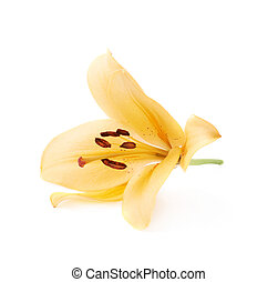 Yellow royal trinity lily lilium isolated