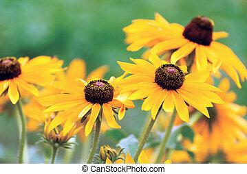 Yellow rudbeckia flower in garden