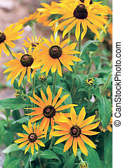 Yellow rudbeckia flower in garden
