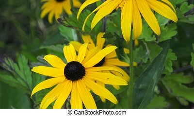 Yellow Rudbeckia Fulgida flowers in a garden
