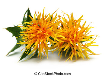 Yellow Safflower over white background