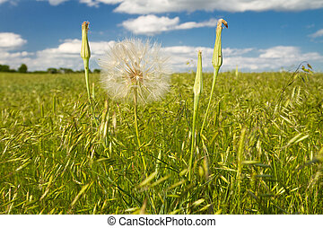 yellow salsify seed head in pasture - Kansas pasture field ...
