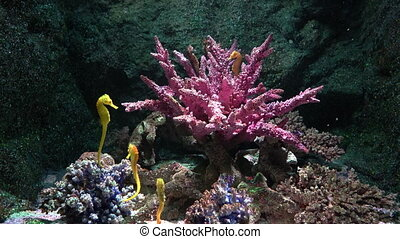 Yellow seahorses in the clear water around coral