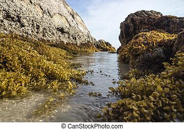 Yellow Seaweed. (Sargassum sp.)