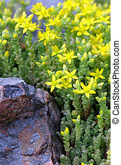 Yellow Sedum acre (Goldmoss Stonecrop, Biting Stonecrop) -...