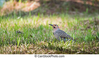 Yellow shafted flicker (Colaptes auratus), on the ground hunting grubs.