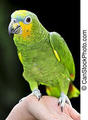 yellow-shouldered, amazone, papegaai