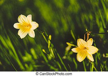Yellow Siberian lily over dark green grass background