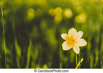 Yellow Siberian lily in a meadow